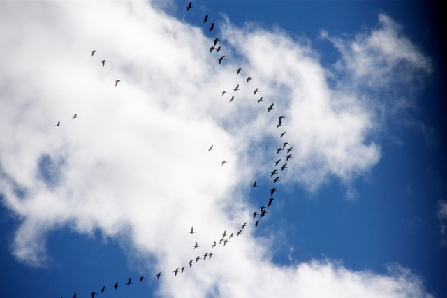"Photo credit: ""Geese migration"" by Rosana Prada flickr"